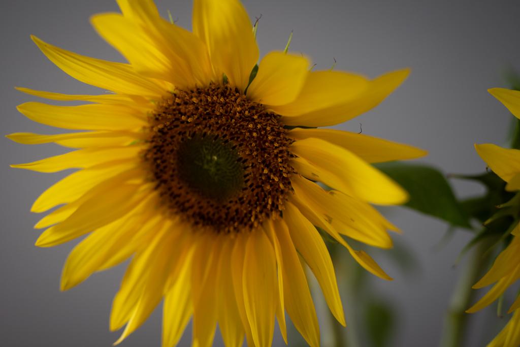 Anne Melender Auringonkukat 6